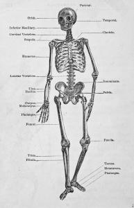 Cuerpo en esqueleto